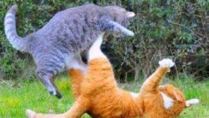 Коты боксеры