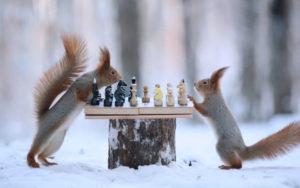 Белки шахматы