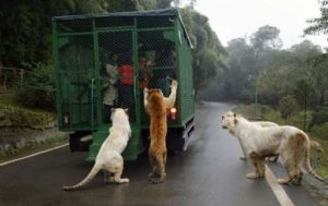 Львы еда
