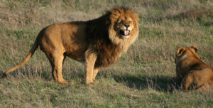 Львы шутки