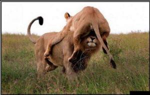 Не стандартная Любовь львов