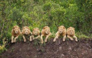 Львы как мужчины
