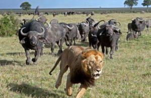 Львы охота