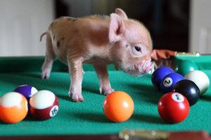 Свинья в бильярд