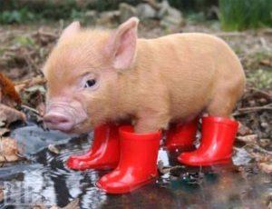 Свинья в болоте